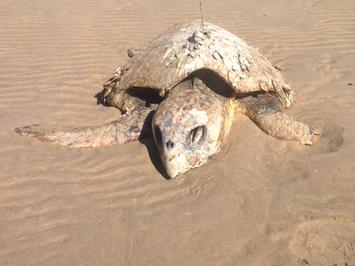 NT Helps WA Unlock Vital Turtle Data