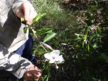 Rubber Vine found in the NT Gulf