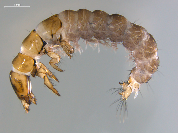 Caddisfly larvae similar to this one are commonly found in Top End creeks.