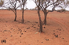 Image 1km away from the watering point  sand drifts across adjacent cattle pads